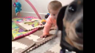 Silly dog is jealous of baby