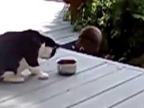 енот ворует еду у кота