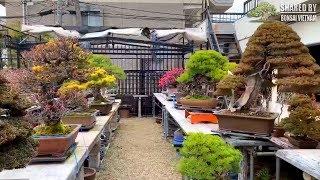 Vườn Bonsai Nhật Bản, quá đẹp và đẳng cấp