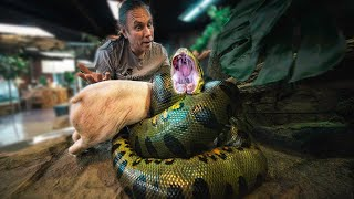 HUGE ANACONDA EATS 15 POUND PIG FOR EASTER!! | BRIAN BARCZYK