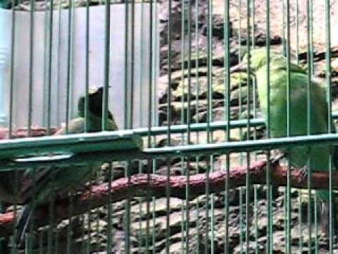 Cucak Ijo Banyuwangi Sepasang Jodoh Agung Cr video
