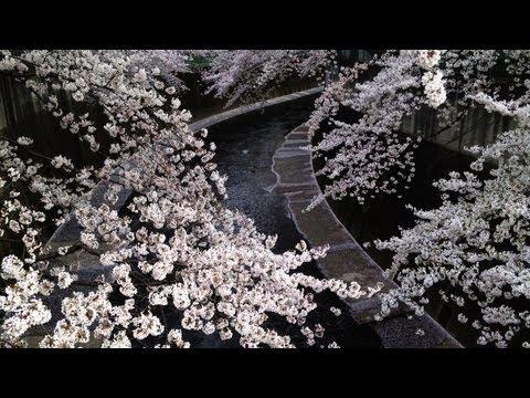 Sakura, Cherry Blossoms, in Tokyo [iPhone 4S/HD]