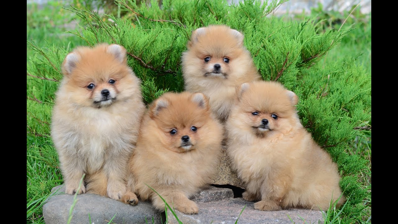 Brown and white pomeranian dogs