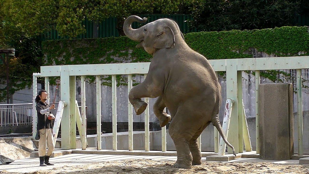 アジアゾウの画像 p1_19