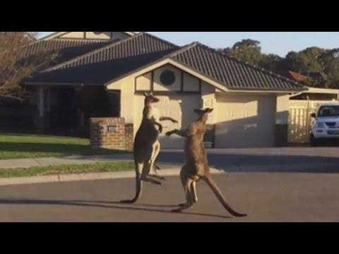 Kangaroo Street Fight In Australia | TODAY