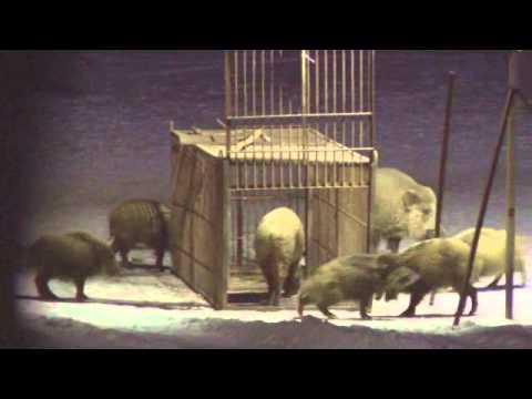 Живоловушки на кабана
