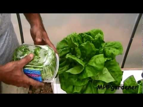 End Of 30 Day Hydroponic Lettuce