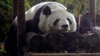 Pair of pandas in Mexico become oldest outside China
