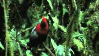 Andean Cock-of-the-Rock.wmv