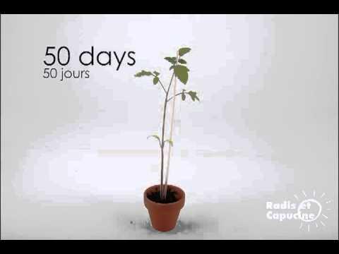 La tomate cerise c 39 est facile faire pousser youtube - Faire pousser tomate cerise ...