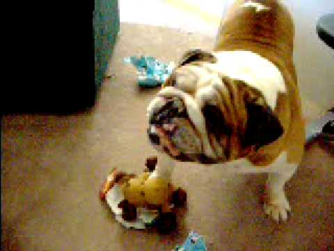 Cute Bulldog Opening Christmas Presents
