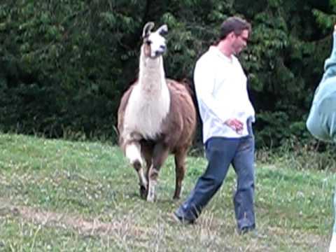 Funny Llama Attack!!