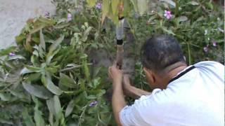 تطعيم شجرة المنجو بواسطة الأستاذ رسول