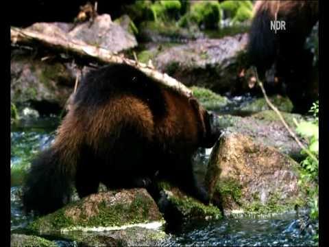 Wild Wolverine in Finland - Elusive creature of the North