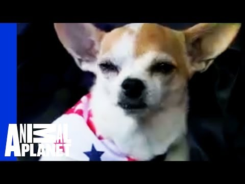 Dogs 101: Chihuahua - YouTube