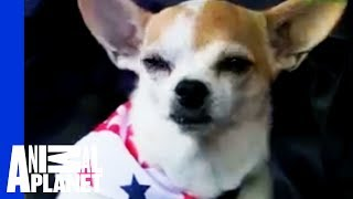 Chihuahua | Dogs 101