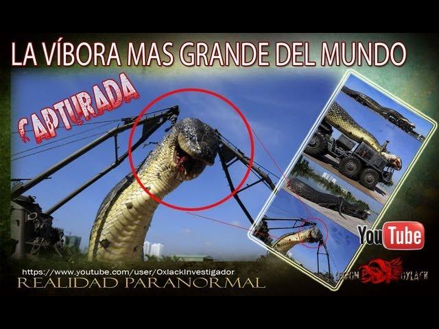 Capturada la serpiente mas grande del Mundo en Egipto RT @OxlackCastro