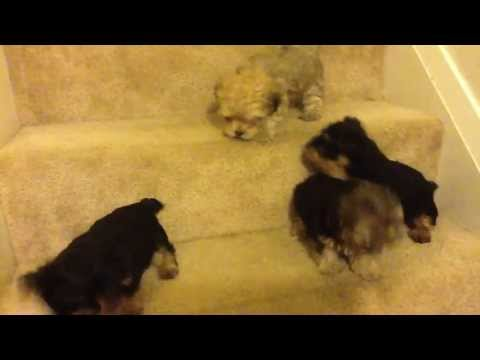 Tiny Yorkie Poo Puppies Looking For A  Fun Home   gift of happiness [NEW VIDEO]