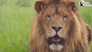Lion Gifted to 4 YEAR OLD GIRL Is SO HAPPY To Be Rescued | The Dodo