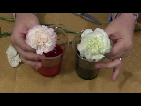 Color Changing Flowers (Science)
