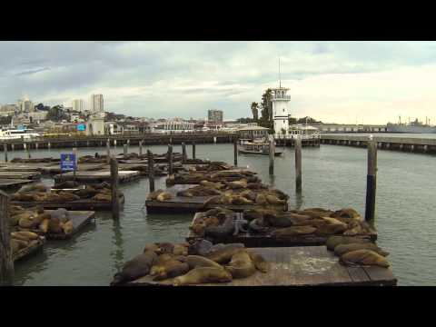 San Francisco - Fisherman's Wharf - Pier 39 - Sea Lions fighting and cheering (2/2)