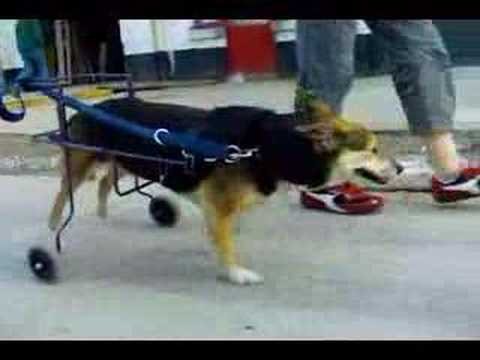 chaise roulante pour chien paralysé