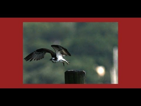Spring arrived with an Osprey (slow motion shot)