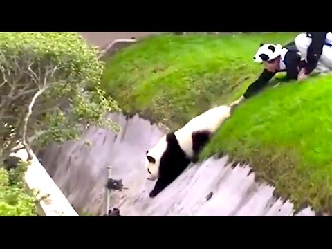 Ozzy Man Reviews: Pandas