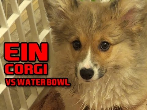 Ein The Puppy CORGI Vs The Water Bowl