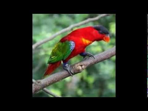 Burung Nuri Kepala Hitam video