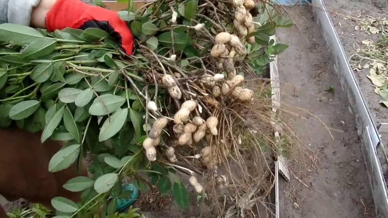 Растение арахис