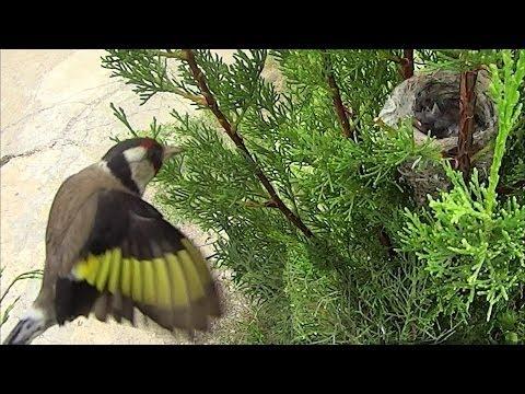 Jilguero.Nido Criando en libertad,nid chardonneret,goldfinch nest (HD)