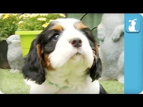 80 Seconds of Precious Cavalier King Charles Spaniel Puppies