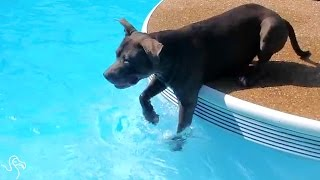 Pit Bull Decides To Go For A Swim — Eventually