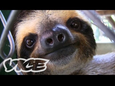 baby-sloth-sanctuary-in-costa-rica-the-cute-show.html