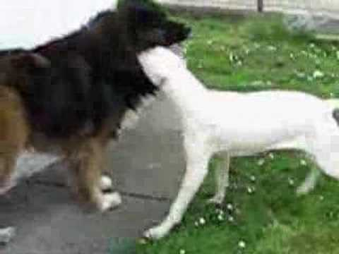 Argentino dogo VS Caucasian ovcharka - dog fight simulation