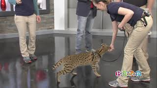 Up close and personal with a serval cat