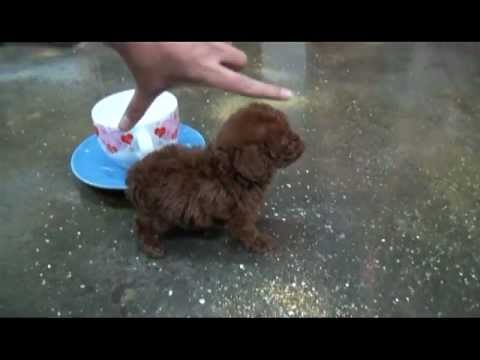 Baby Jojo* Handsome Cute Male Teacup Poodle Available Royal Teacup ...