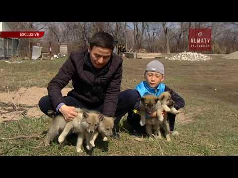 Алматы облысында 15 жасар бала қасқырды итке айналдырмақ (31.03.17)