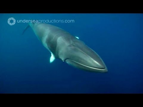 Swimming with Dwarf Minke Whales (underwater footage)