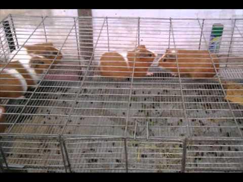 Jaulas para Crianza de Cuyes / www.rmr-peru.com