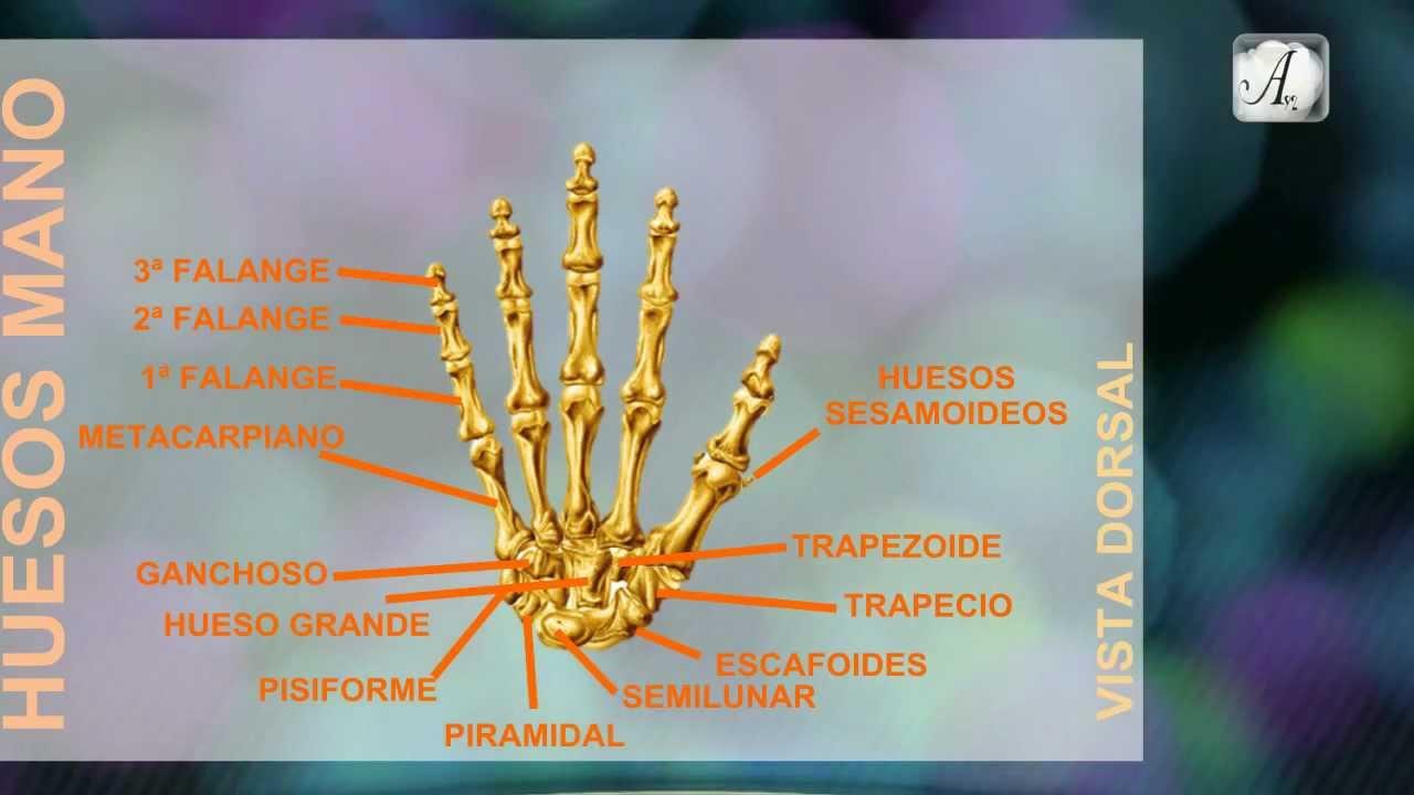 Huesos de la Mano Dedos y