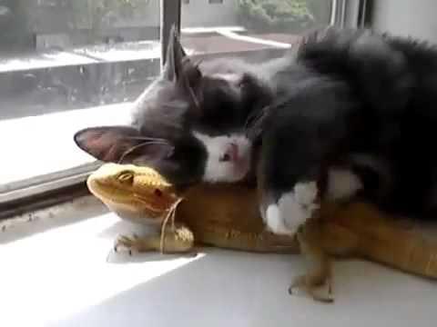Кот и Хамелион - лучшие друзья о_О прикол