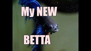 Betta Fish Basics