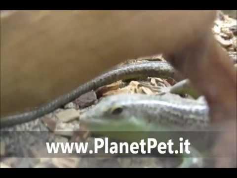 Dasia olivacea – www.PlanetPet.it