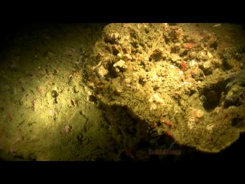 Night Diving Natural Reefs of Pensacola Fl