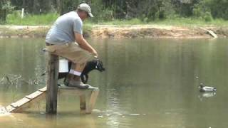 Ranger, Great Entry - Labrador Retriever Training for Duck Hunting