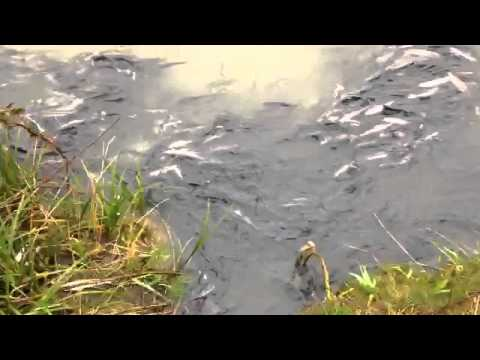 2014 Cowlitz River Smelt Run