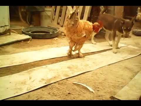 LO MAS GRACIOSO DE LA VIDA ANIMAL CON EL GALLO CLAUDIO Y CHASAN