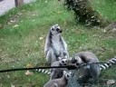 Funny Lemurs In Fota Wildlife Park Video